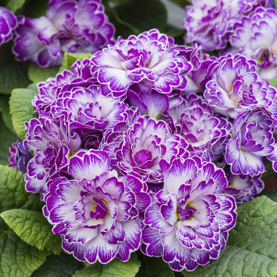 Lively Lilac
